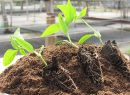 PLANTULACION